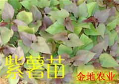 2014年紫薯苗 紫红薯苗预订进行