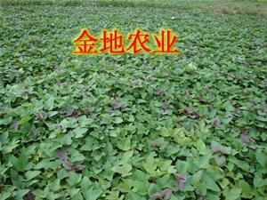 紫薯种植 紫红薯种植图片