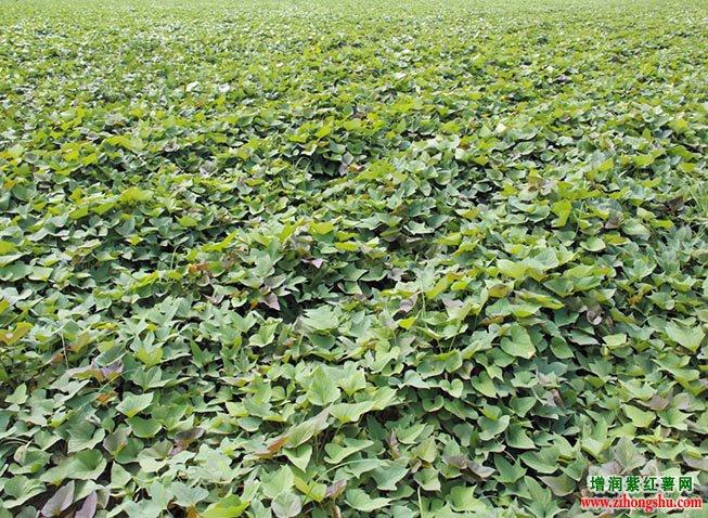 2017年紫薯种批发