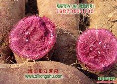 紫红薯种植技术_下