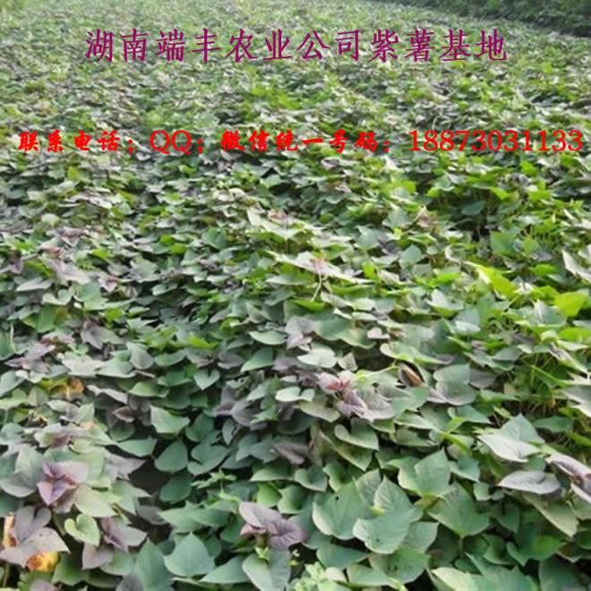 端丰紫红薯种植