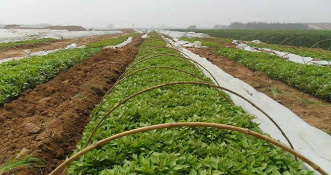 增润紫薯苗